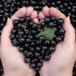Love for black currant — Stock Photo #28290907