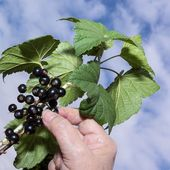Gathering black currant — Stock Photo