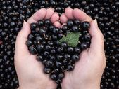 Love for black currant — Stock Photo