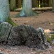 Old tree stump — Stock Photo