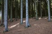 Spruce Forest — Stock Photo
