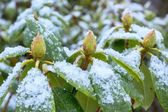 Rhododendron with snow — Stockfoto
