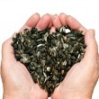 Love for sunflower seeds — Stock Photo #44445527