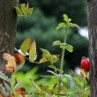 Ripe rose hip growing next to wooden fence — Stock Photo