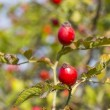 Ripe hip roses  — Stockfoto
