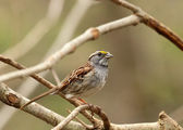 White-throated Sparrow — Stock Photo