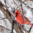 Northern Cardinal, Cardinalis cardinalis — Stock Photo