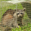 Trapped Raccoon — Stock Photo