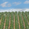 Stock Photo: Rows of Soybeans