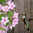 Ruby-throated Hummingbird and Honeysuckle — Stock Photo