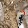 Red-bellied Woodpecker — Stock Photo #29598269