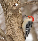 Red-bellied Woodpecker — Stock Photo