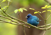 Indigo Bunting, Passerina cyanea — Stock Photo