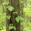 Poison Ivy, Toxicodendron radicans — Stock Photo