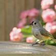 Stock Photo: Tufted Titmouse, Baeolophus bicolor, Drinking