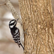 Stock Photo: Female Downy Woodpecker