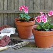 Planting Geranium Plants — Stock Photo