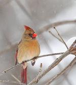 Północnej cardinalis cardinalis kardynał, — Zdjęcie stockowe