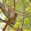 Female Northern Cardinal, Cardinalis cardinalis — Stock Photo