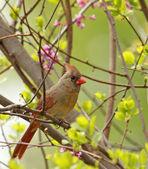 Female Northern Cardinal, Cardinalis cardinalis — Stock Photo