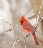 северный кардинал, кардиналы кардиналы — Стоковое фото