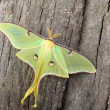 LunMoth, Actias luna — Stock Photo #32804107