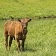 Stock Photo: Brown Calf