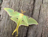 Luna Moth, Actias luna — Stock Photo