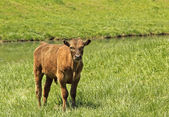 Brown Calf — Stock Photo