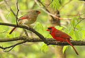 Two Cardinals in a Tree — Stock Photo