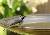 Jasnoskrzydła — Zdjęcie stockowe