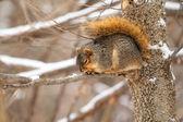 Fox Squirrel, Sciurus niger — Stock Photo