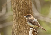 Eastern Phoebe, Sayornis phoebe — Stock Photo