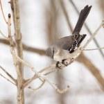 Northern Mockingbird, Mimus polyglottos — Stock Photo