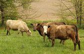Vacas en un potrero — Foto de Stock