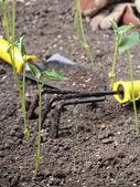 Green Bean Gardening — Stock Photo