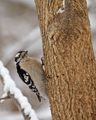 Downy Woodpecker, Picoides pubescens — Stock Photo
