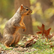 Fox Squirrel, Sciurus niger — Stock Photo