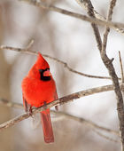 Male Northern Cardinal, Cardinalis cardinalis — Stock Photo