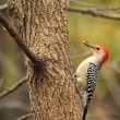 Red-bellied Woodpecker, Melanerpes carolinus — Foto de Stock