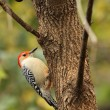 Red-bellied Woodpecker, Melanerpes carolinus — 图库照片