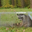 Trapped Raccoon, Procyon lotor — Stock Photo