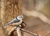 白胸五子雀、 sitta carolinensis — 图库照片