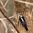 Stock Photo: Downy woodpecker, Picoides pubescens