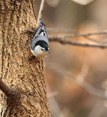 White-breasted Nuthatch on a Tree — Foto de Stock
