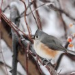 Tufted Titmouse, Baeolophus bicolor — Stock Photo
