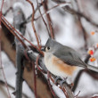 Stock Photo: Tufted Titmouse, Baeolophus bicolor