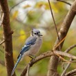 Blue Jay, Cyanocitta cristata — Stock Photo