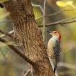 Red-bellied Woodpecker, Melanerpes carolinus — Stock Photo