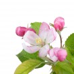 Apple Blossom — Stock Photo #37670291